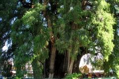ArbordeTule Oaxaca
